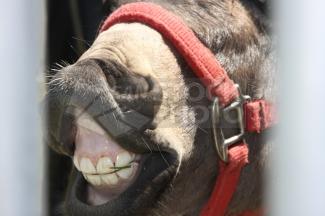 20111201121510-dientes-burro.png
