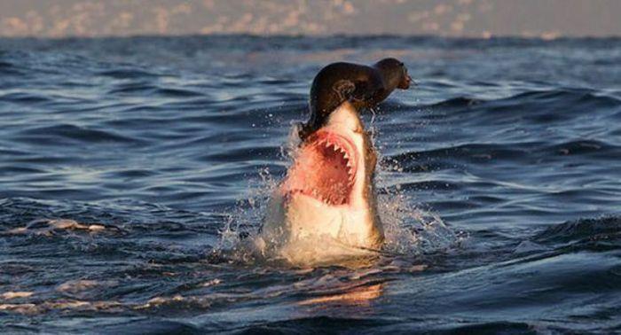 20130122003224-tiburon-jugando-con-foca-antes-de-comersela1.php.jpg